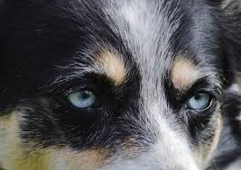 australian shepherd husky free images white puppy pet black close up border collie