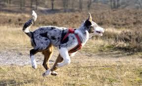 australian shepherd 1 jaar de australian shepherd doggo nl