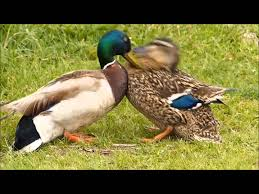 aggressive male duck attacks hen to force mating a struggle to