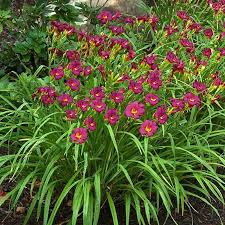 stella daylily daylily ruby stella reblooming hemerocallis drought proof sun