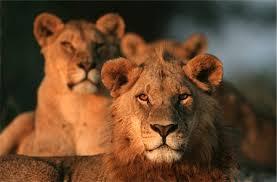 eye color lion stock photos 1 masterfile