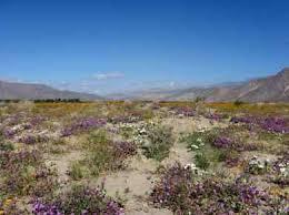 anza borrego wildflowers anza borrego state park wildflowers southern california