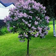 best 25 lilac tree ideas on lilac bushes lilac