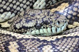 carpet python snake catcher gold coast u0026 brisbane