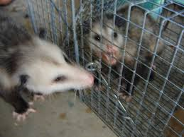 opossum removal wildlife removal services of south florida