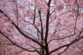 cherry blossom tree facts 10 interesting facts about cherry blossom global blue