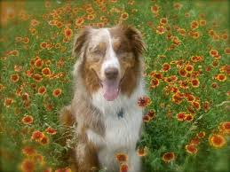 1 year old toy australian shepherd photo contest fundraiser contestants