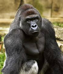 zookeeper who raised slain gorilla says death was no win situation
