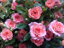 garden roses neve bros inc grower u0026 wholesaler