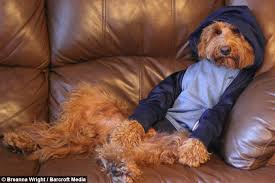 doggy style oliver goldendoodle loves wear human clothes