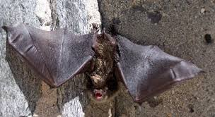 As Blind As A Bat Meaning Bats Get More Information Defenders Of Wildlife