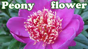 peony flower peony flower bush peonies season summer flowers