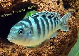 48 best fish images on pinterest tropical fish tanks african