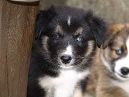 t r australian shepherds free images puppy cute pet border collie eyes dogs