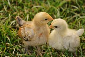 small chicken free images grass meadow cute wildlife spring beak small