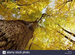 White Oak Tree White Oak Tree Quercus Alba Stock Photos U0026 White Oak Tree Quercus