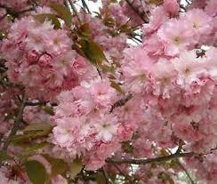 flowering trees ebay