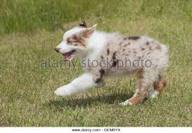 australian shepherd 16 weeks dog australian shepherd aussie puppy stock photos u0026 dog australian