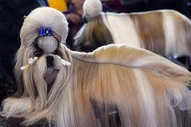 afghan hound westminster westminster kennel club dog show 2015 pampered pooches compete