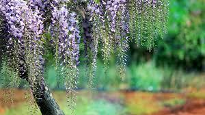 flowers wisteria elegance artfile blue great summer tree desktop