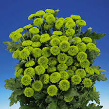 button flowers premium green chrysanthemum button flowers global