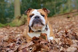 australian shepherd dog names bulldog dog names dogtime