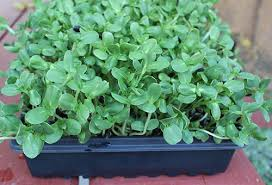 how to grow sunflower sprouts a tasty chorophyll rich protein source