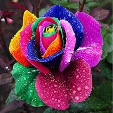 multi colored roses dealglad 1000pcs beautiful rainbow seeds multi