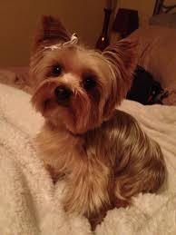 yorkie haircuts for a silky coat 13 fantastiche immagini su a little phoebe su pinterest cani