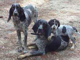 bluetick coonhound louisville ky bluetick coonhound meet trouble a cute bluetick coonhound puppy