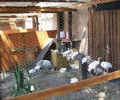 Backyard Turkeys Why Not To Own Backyard Turkeys
