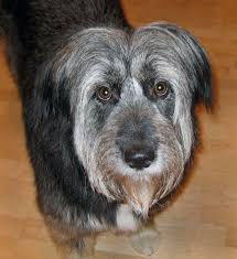bearded collie x terrier chloe the collie shepherd mix dogs daily puppy
