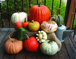 autumn harvest display pumpkin squash gourd mix 60 120 days
