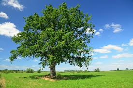 white oak trees for sale lowest prices save 80 buy