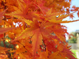 outdoor garden design chic coral bark maple japanese tree for sale