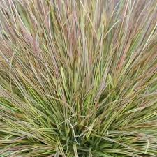 271 best products images on ornamental grasses