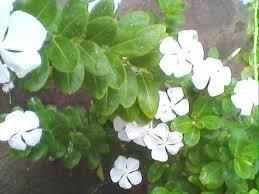 Vinca Flower Information - health benefits of sadabahar periwinkle or vinca rosea caloriebee