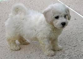 1 week old bichon frise ollie the bichon frise puppies daily puppy