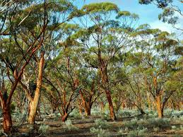 native australian desert plants great western woodlands wikipedia