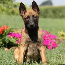 lifespan of belgian shepherd belgian malinois puppies for sale greenfield puppies