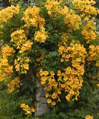 gold campsis trumpet vine set of two daily deals for moms