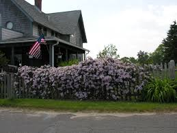 clematis vine fence privacy plany gardening pinterest