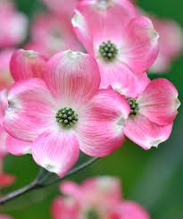 dogwood flowers pink flowering dogwood trees flowers gardens and