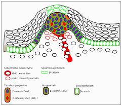 morphology and distribution of taste papillae and oral denticles