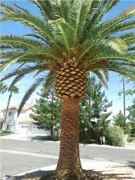 premium canary island palms
