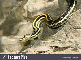 western ribbon image of western ribbon snake