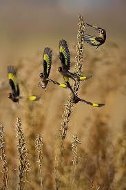 best 25 goldfinch ideas on pinterest beautiful birds pretty