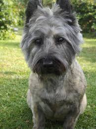 brindle cairn haircut 184 best cairn terrier images on pinterest cairn terrier puppies