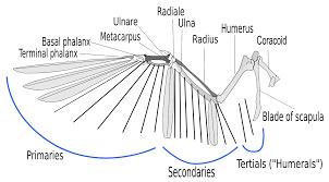 Bird Wing - file birdwing svg wikimedia commons