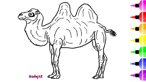 camel drawing and coloring pages for kids u0026 how to draw a
